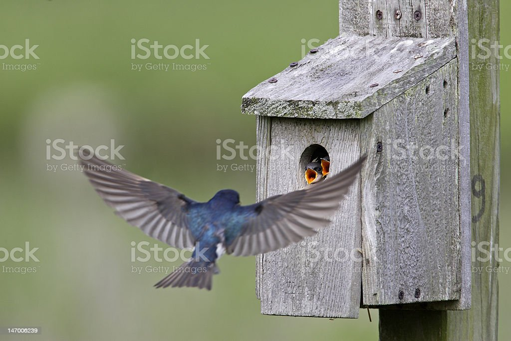 Tree Swallow feeding juveniles stock photo