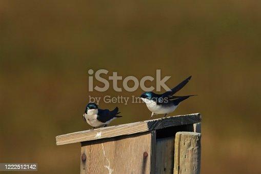 139975532 istock photo Tree swallow on a birdhouse 1222512142