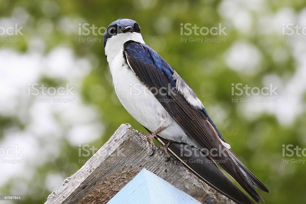 Tree Swallow on Birdhouse royalty-free stock photo