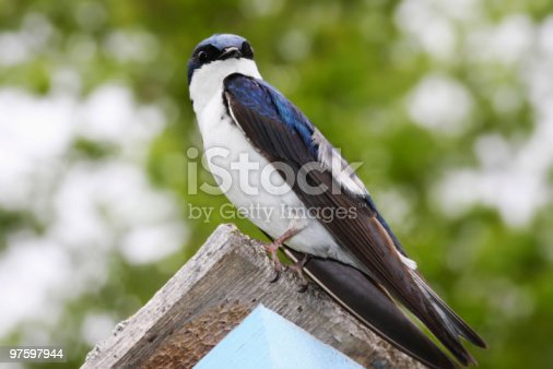 Tree Swallow On Birdhouse Stock Photo & More Pictures of Animals In The Wild