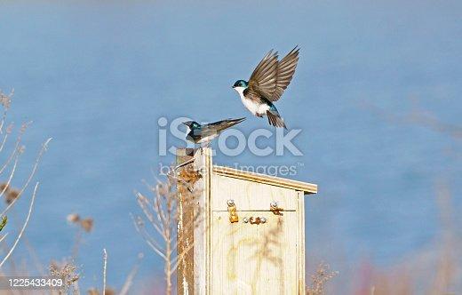 139975532 istock photo Tree Swallow Pair 1225433409