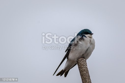 139975532 istock photo Tree Swallow perched against light gray sky 1212157814