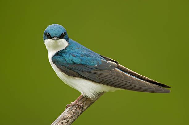 Tree Swallow stock photo