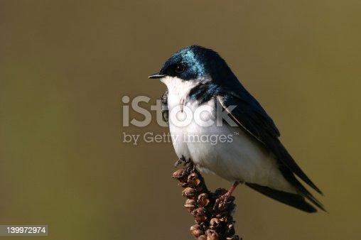 139975532 istock photo Tree swallow 139972974