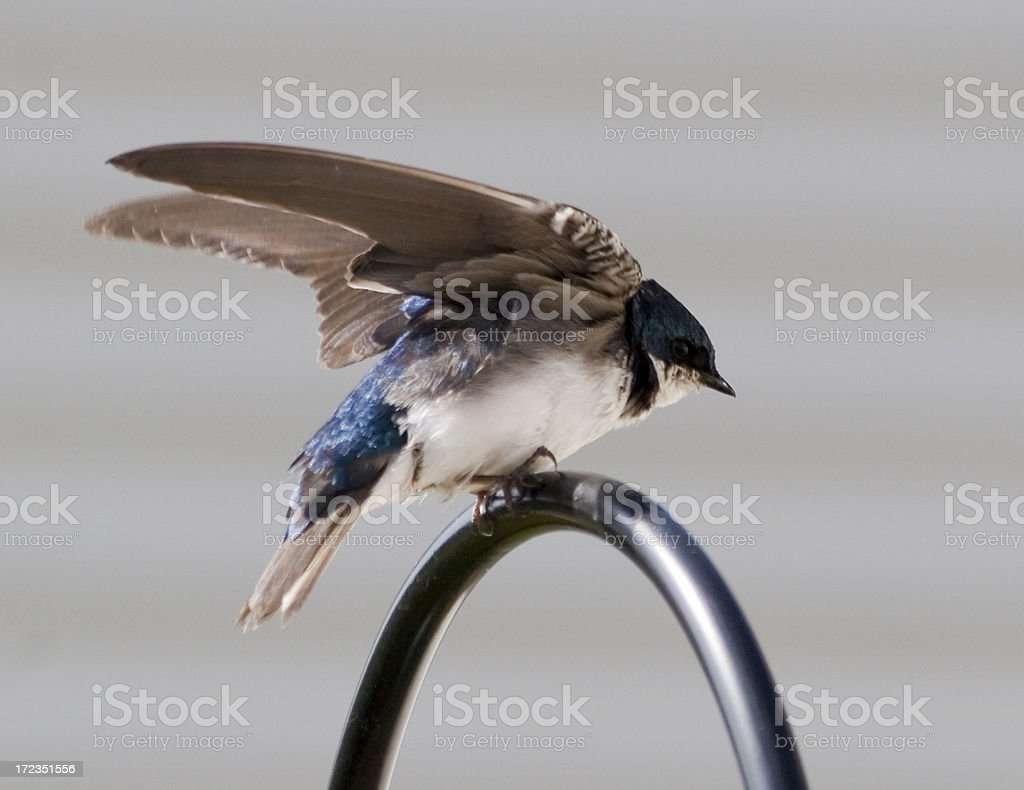 Tree Swallow royalty-free stock photo