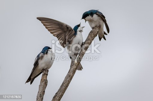 139975532 istock photo Tree Swallow Trio Yelling perched against light gray sky 1212157820