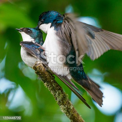 Tree Swallows (Tachycineta bicolor) mating on a tree branch in the Willamette Valley of Oregon. Has a soft, defocused background of green leaves and sunlight. In Hillsboro Oregon on May 11, 2020.