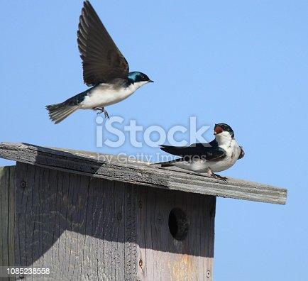 139975532 istock photo Tree Swallows 1085238558