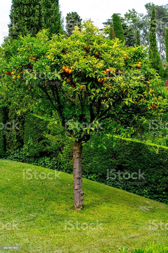 tree tangerine royalty-free stock photo
