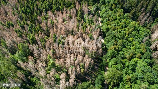 Tree tops and forest dieback - aerial view. Many trees are suffering from drought and pest infestation