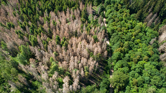 Tree tops and forest dieback - aerial view