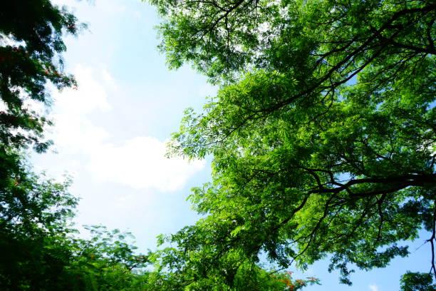 Tree tops framing the sunny blue sky stock photo