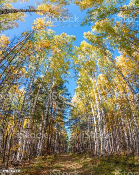 Photo of Tree tops in the autumn forest, a view from the bottom upward on blue sky background.