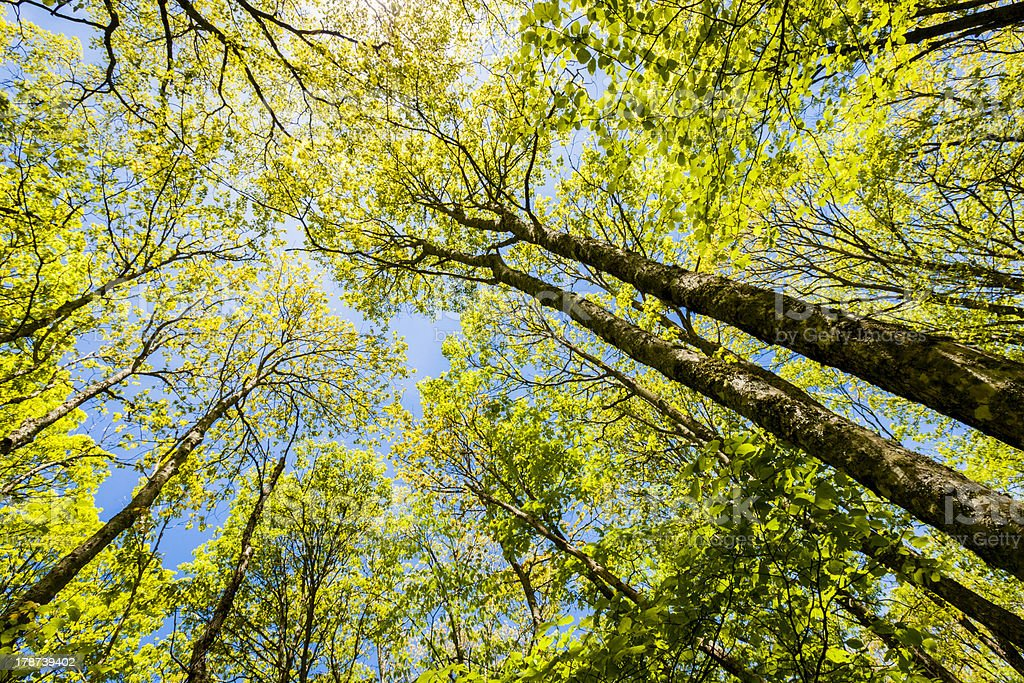 Tree Tops royalty-free stock photo