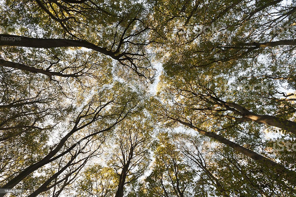 tree tops rising to the sky royalty-free stock photo