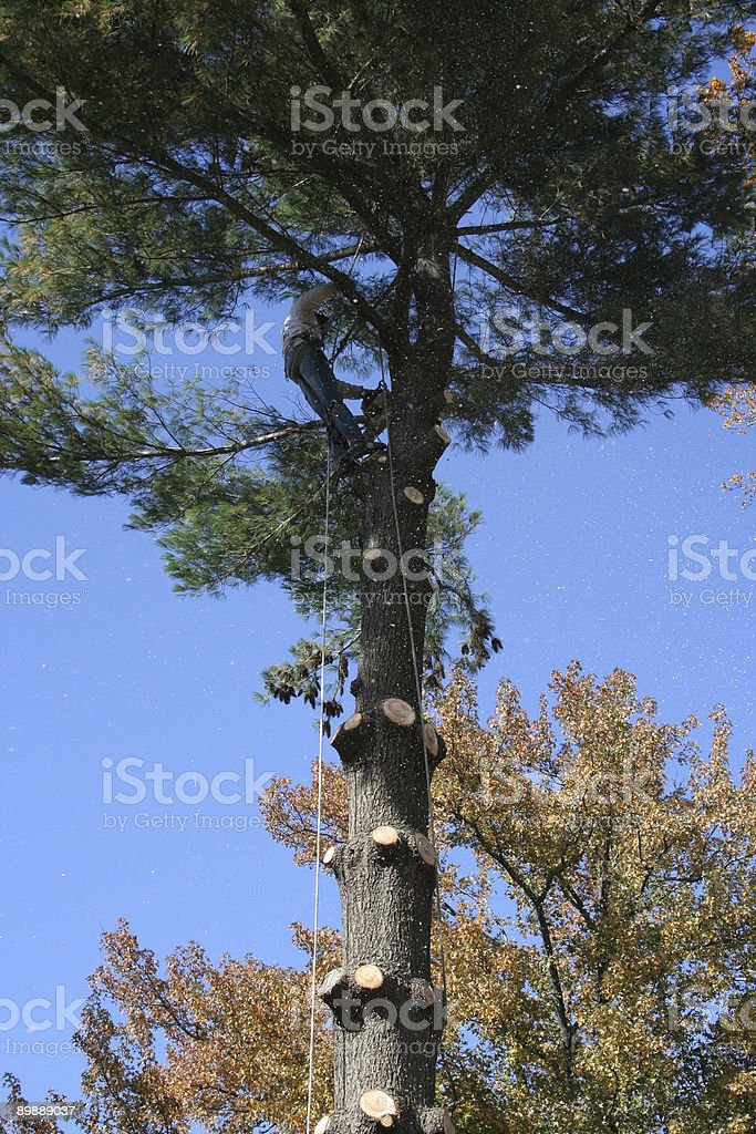 Tree trimmer working up high in forest royalty-free stock photo