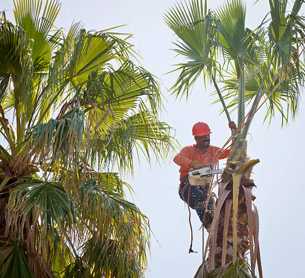 Tree Trimming Man in tree trimming palm fronds. hedge clippers stock pictures, royalty-free photos & images