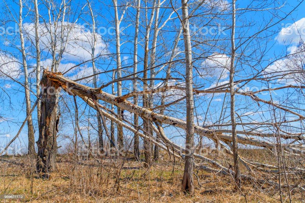 Tronco de árbol roto por fuerte viento - Foto de stock de Accidentes y desastres libre de derechos