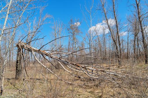 Tree trunk broken by strong wind