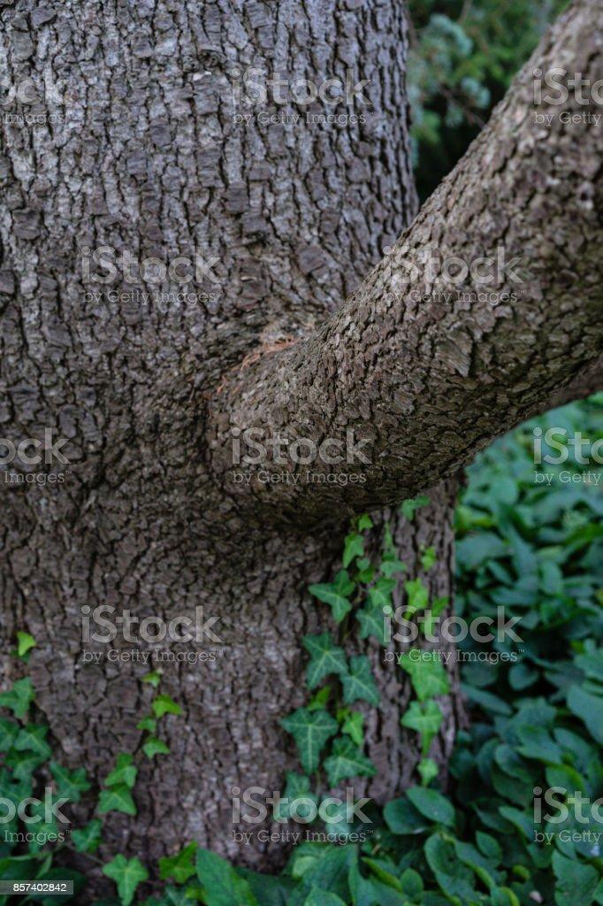 tree trunk close up from cedrus atlantica atlas cedar from mountain stock photo