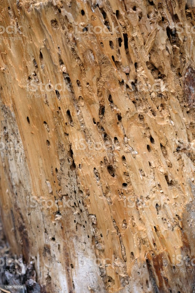 Tree Trunk Eaten By Pests Closeup Dry Wood Texture With Holes Left By Termites Stock Photo Download Image Now Istock