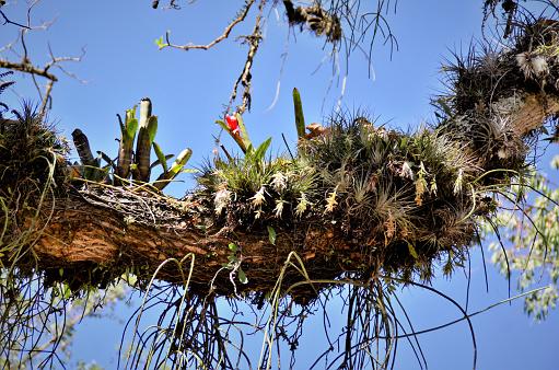 No parque um tronco repleto de epifitas e bromélias com flor em dia ensolarado