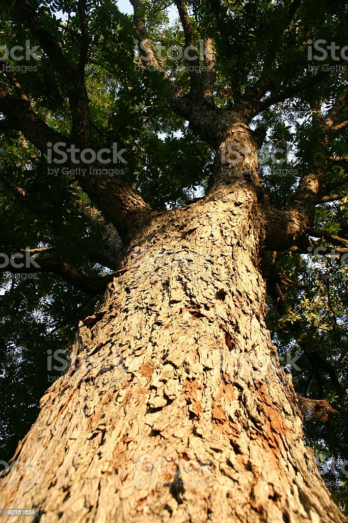 Tree Trunk from Below stock photo