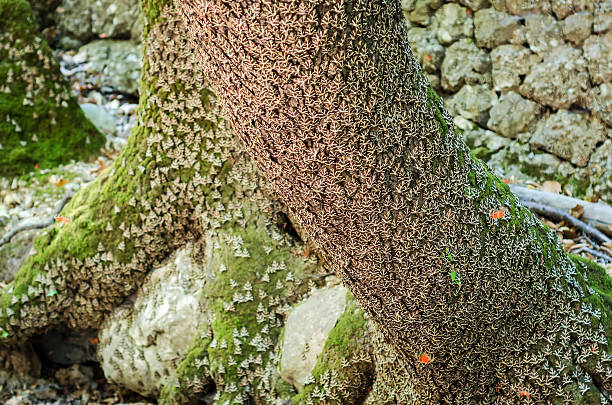Tree trunk full with Jersey tiger butterflies stock photo