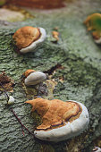 Mushrooms on a tree trunk in early summer forest