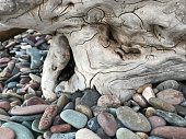 Tree trunk on Driftwood Beach, Waterton Lakes National Park, Alberta, Canada.