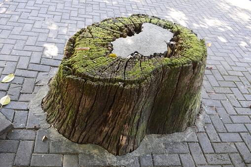 Tree trunk stump full of concrete. Environmental devastation