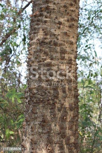 tree trunk thorny of bombax ceiba tree or Cotton Tree