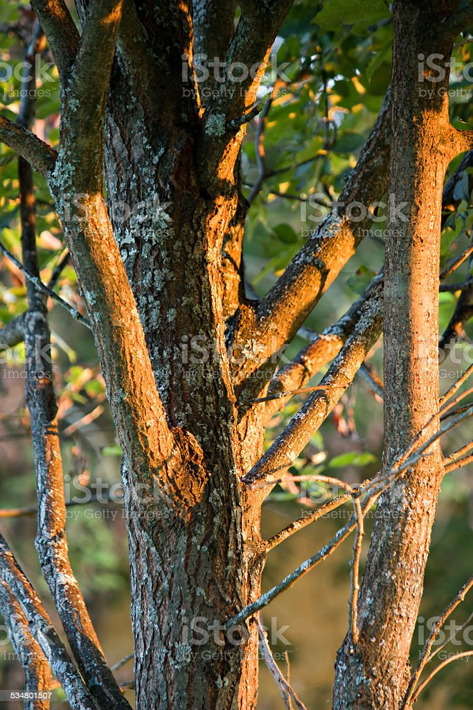 Tree trunk under sunset light stock photo