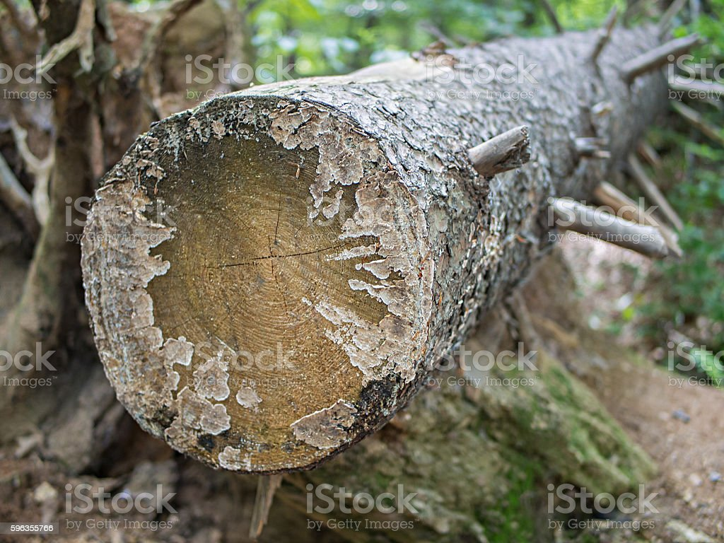 Tree Trunk With Cut Branches, Selected Focus royalty-free stock photo