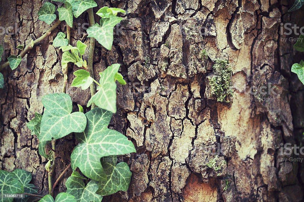 Stamm mit Wein Blätter. – Foto