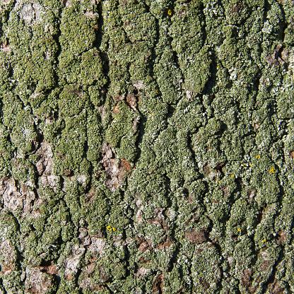 Tree Trunk with Moss or Lichen - Tronco de Arbol
