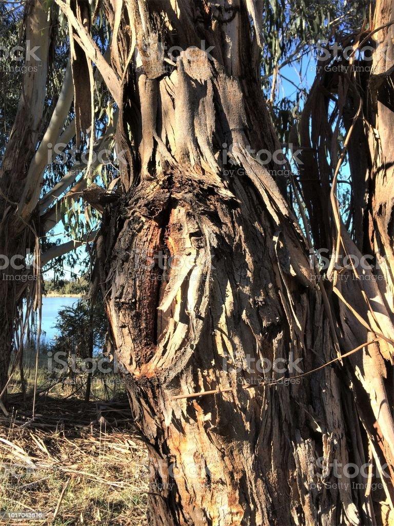Tree trunk with peeling bark stock photo