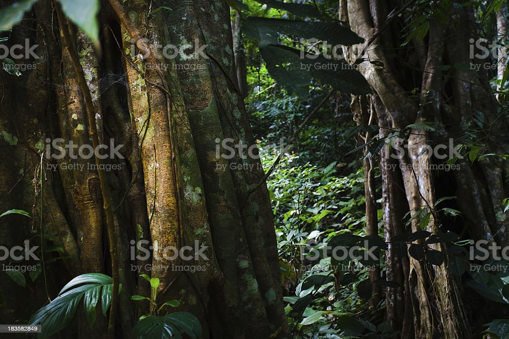 Tree Trunks in a Tropical Forest royalty-free stock photo