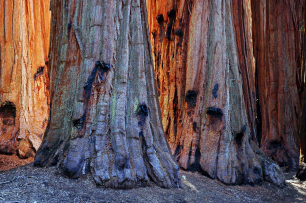 Tree Trunks in Sequoia National Park, California stock photo