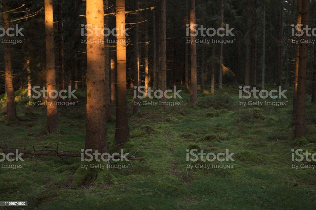 Trädstammar i solljus en tidig morgon i en granskog. - Royaltyfri Barrskog Bildbanksbilder