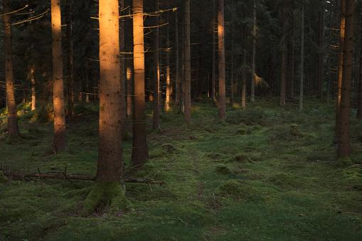 Trädstammar I Solljus En Tidig Morgon I En Granskog-foton och fler bilder på Barrskog