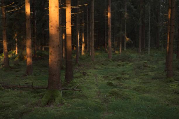Trädstammar i solljus en tidig morgon i en granskog. bildbanksfoto