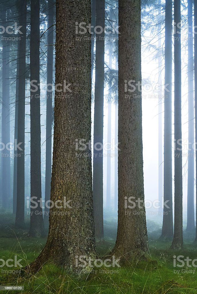 tree trunks in the foggy forest stock photo