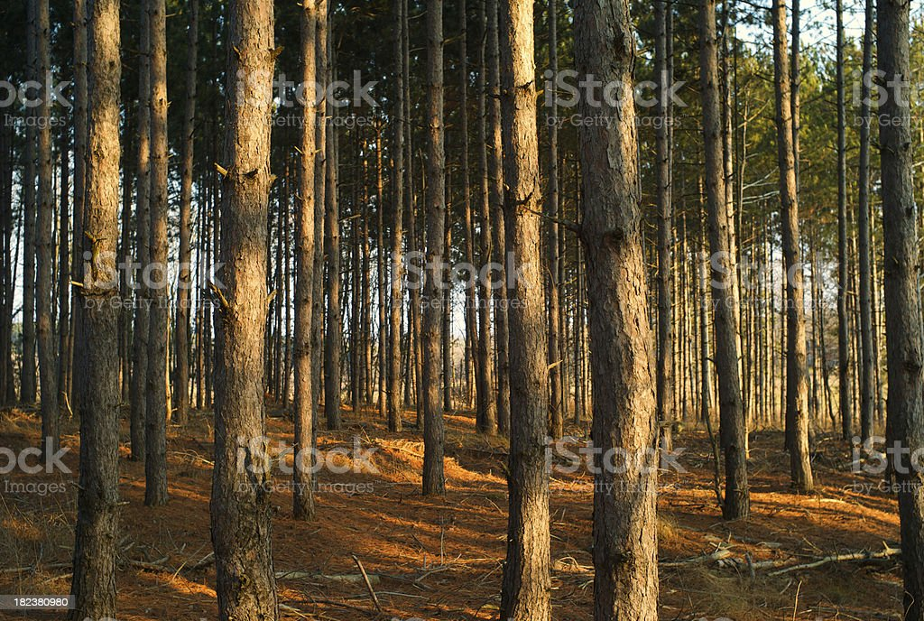 Tree Trunks in the warm forest light royalty-free stock photo
