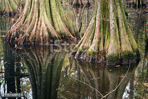Tree trunksl bald cypress trees,  reflections in lake water. Chicot State Park, Louisiana, US