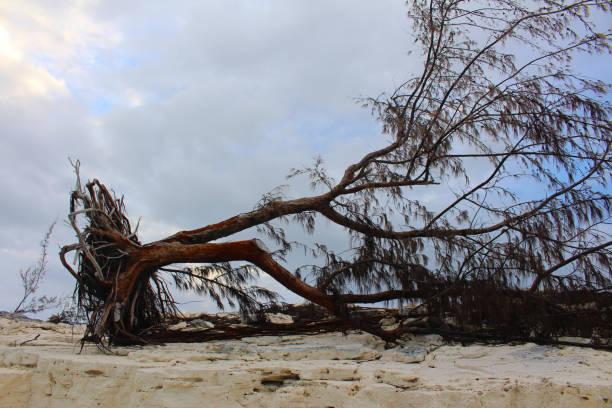 Ein Baum entwurzelt durch einen Hurrikan, Long Island, Bahamas – Foto