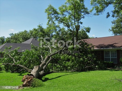 tree uprooted by high winds