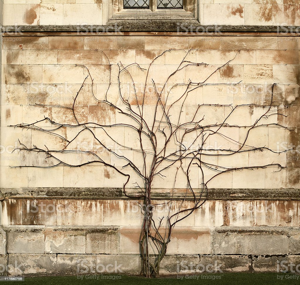 Tree vs wall - Creeper plant growing on stone wall - Royalty-free Attached Stock Photo
