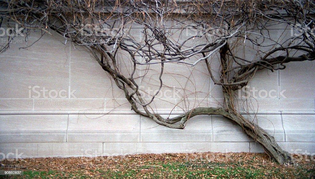 Tree Wall Crawler royalty-free stock photo