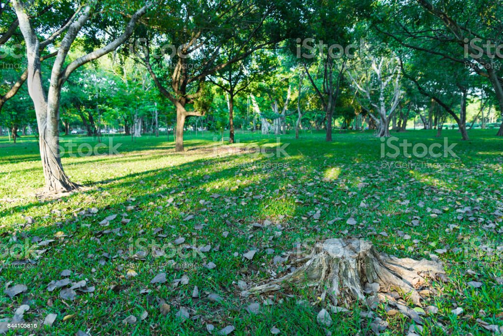 Tree was cut in Garden and many tree has lighting from sunrise in the morning at Phutthamonton Nakhon Pathom Thailand. stock photo